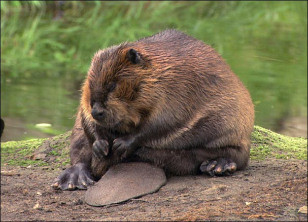 Beaver-picture