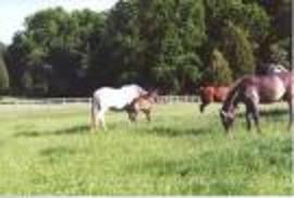 Horses_grazing_2